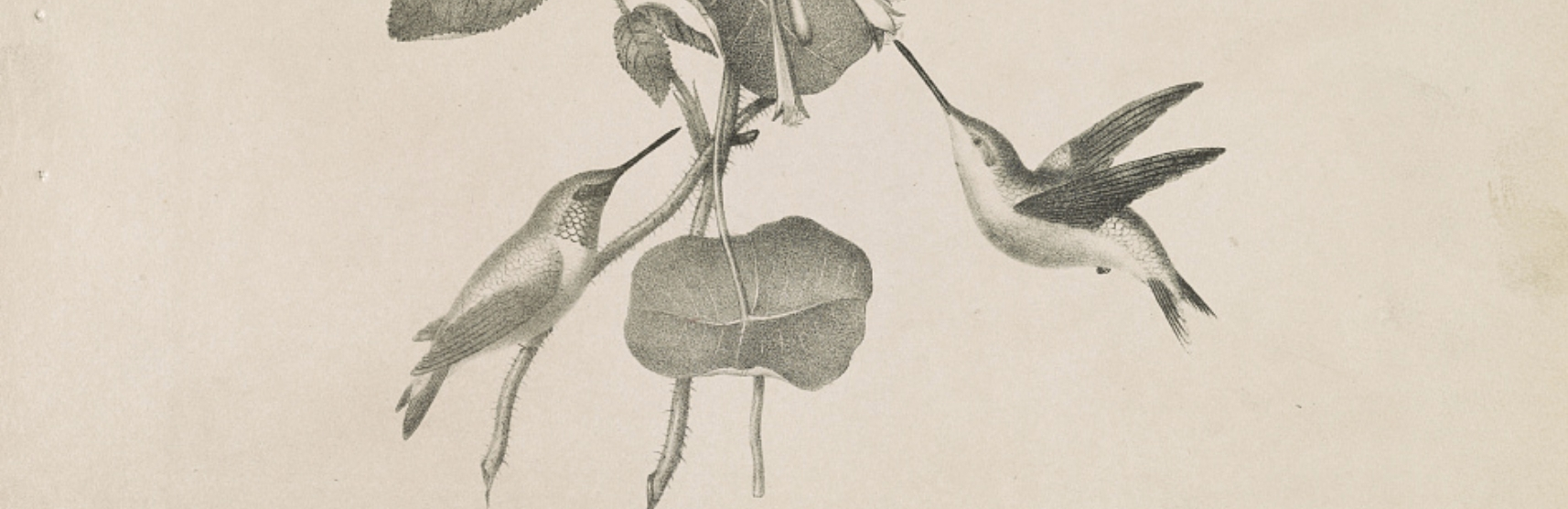 Humming birds / from life & on stone by M.E.D. Brown ; his lith. No. 5 Library St. Phila. via LOC