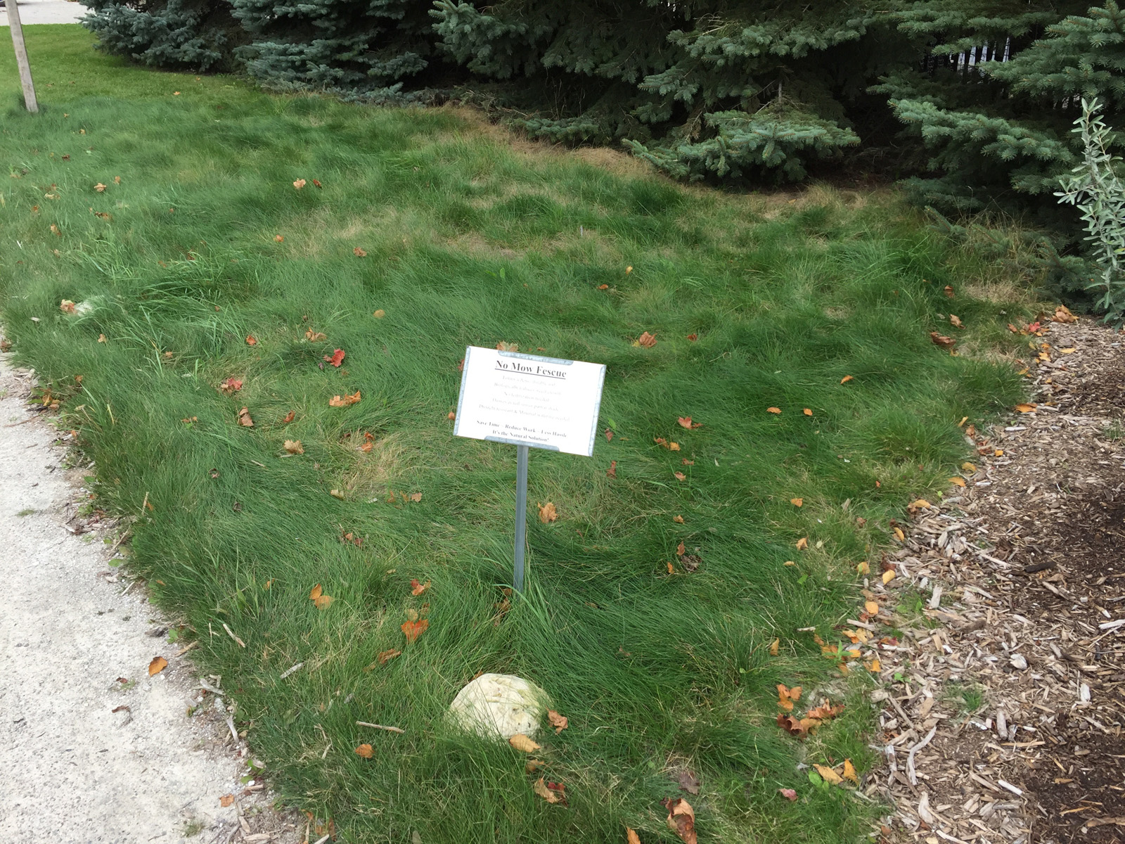 No-Mow Fescue demonstration plot at Door Landscape, photo taken October 2015