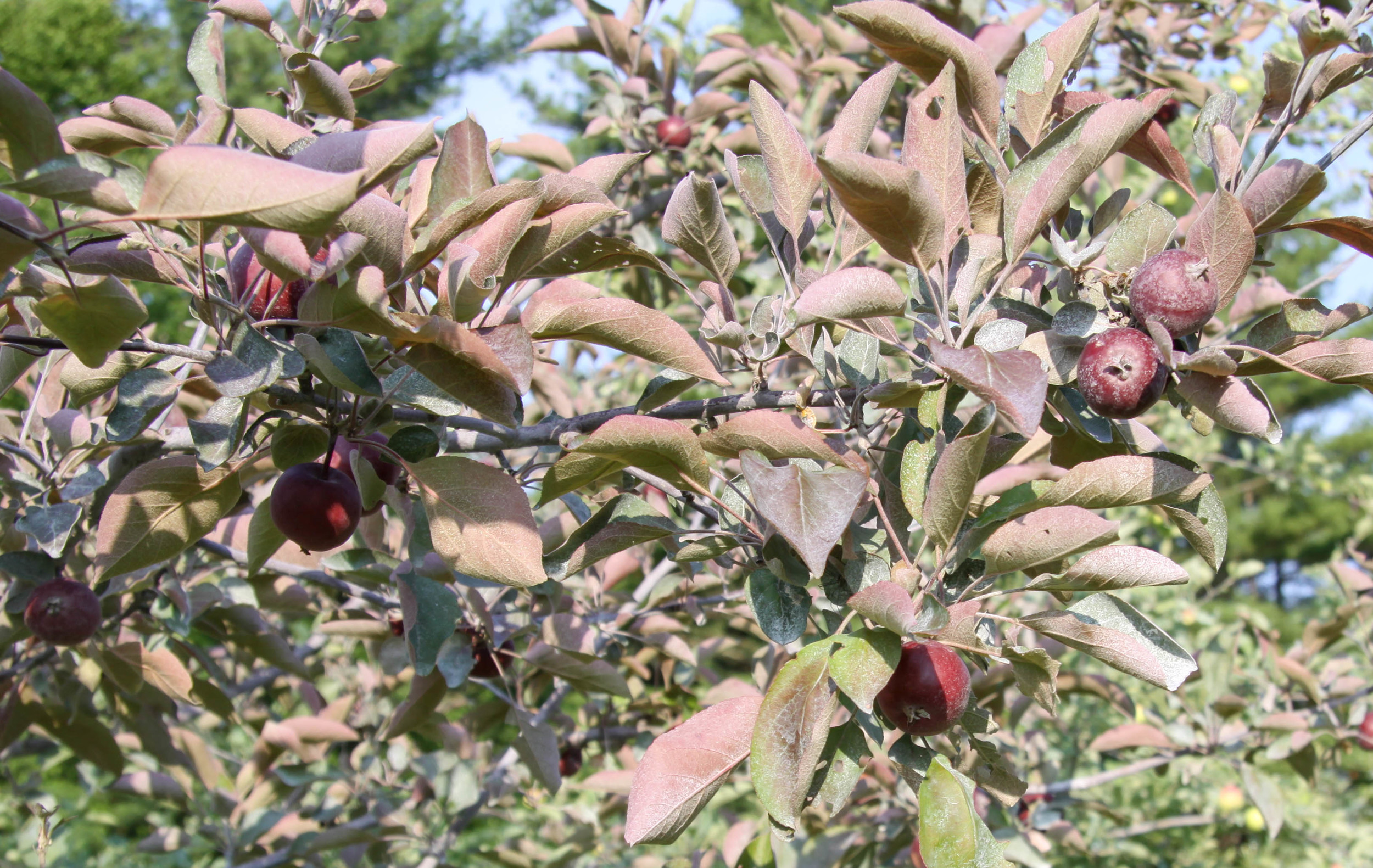 Almata Fruit
