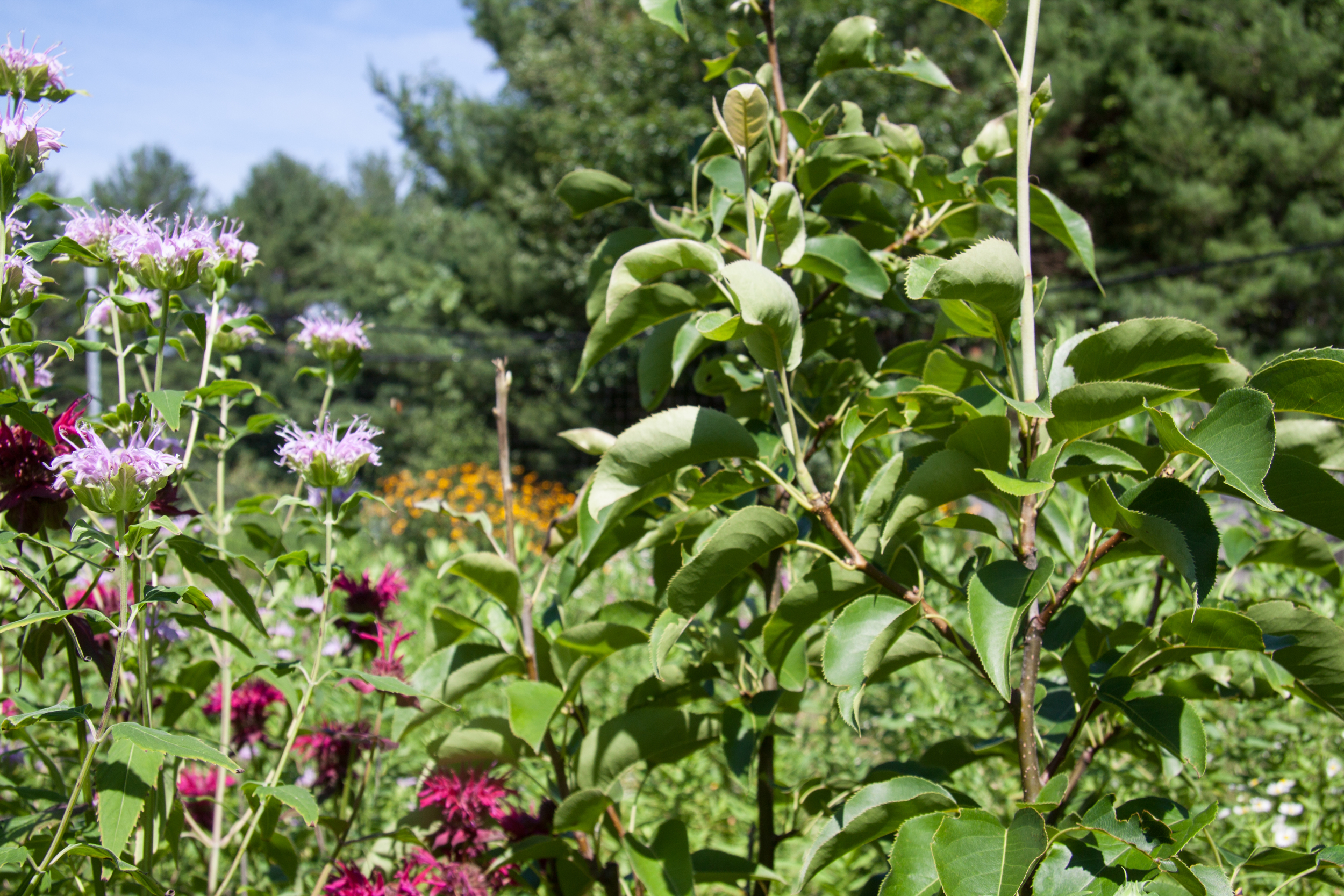 July 16, 2016 - Red and Purple Monarda Bee Balm with Asian Pear Tree (right).