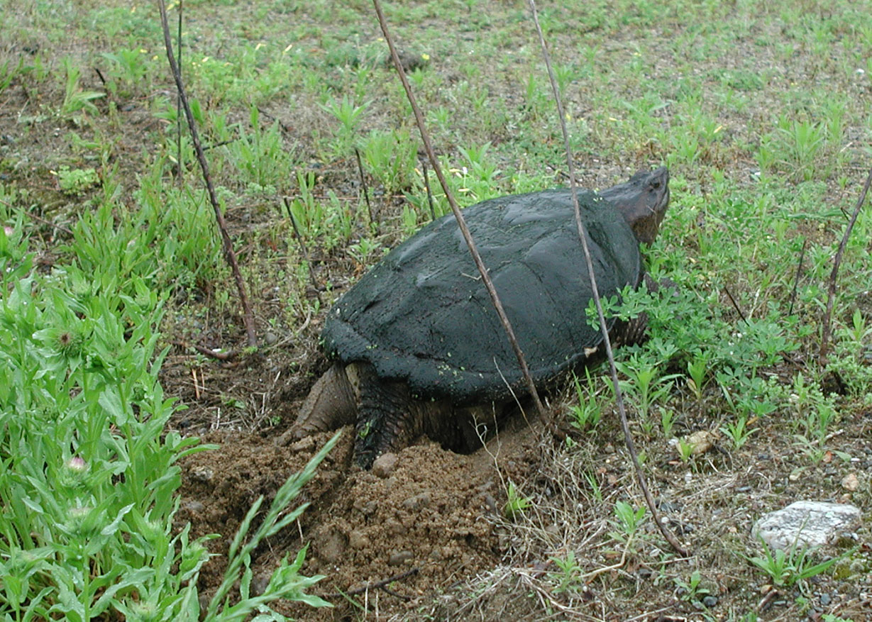 Snapping Turtle Laying Eggs at Old Frog Pond Farm