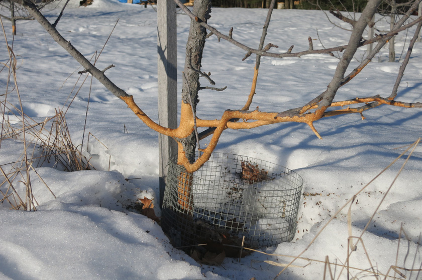 Voles even ate the lower branches because of the height of the hard packed snow!