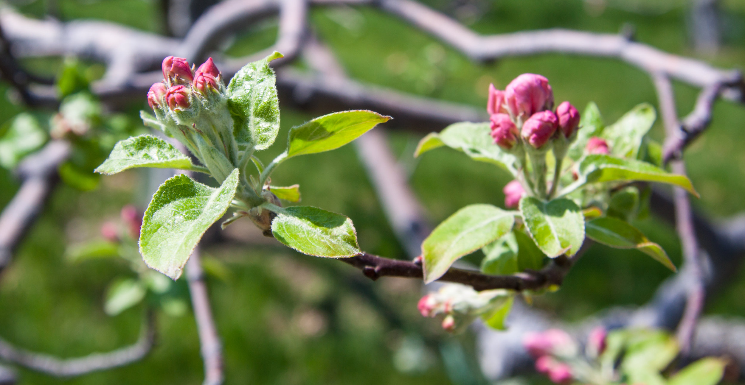 The King Bloom is encircled by buds.