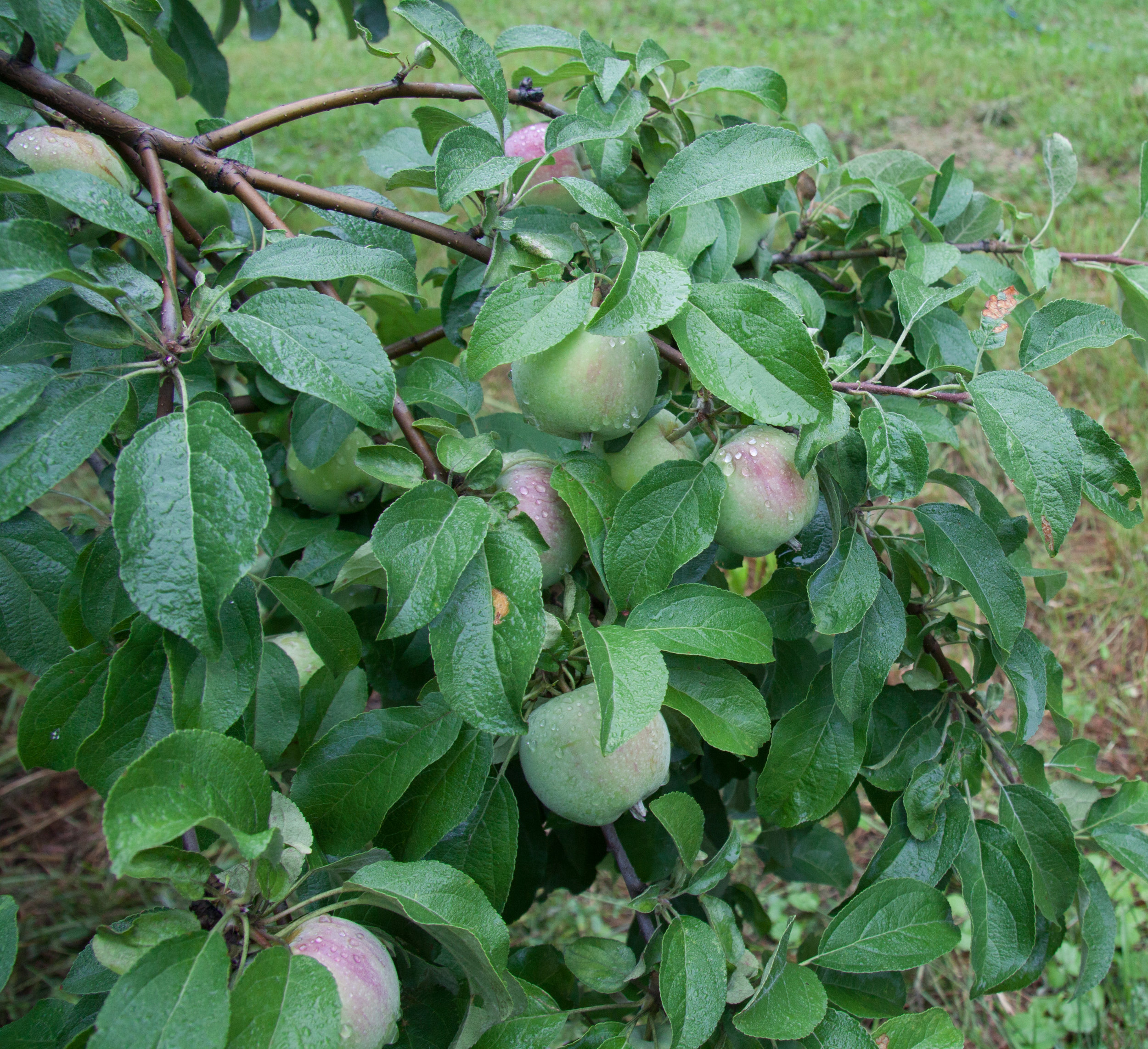 Morning dew on Williams Pride, one of our early apples.