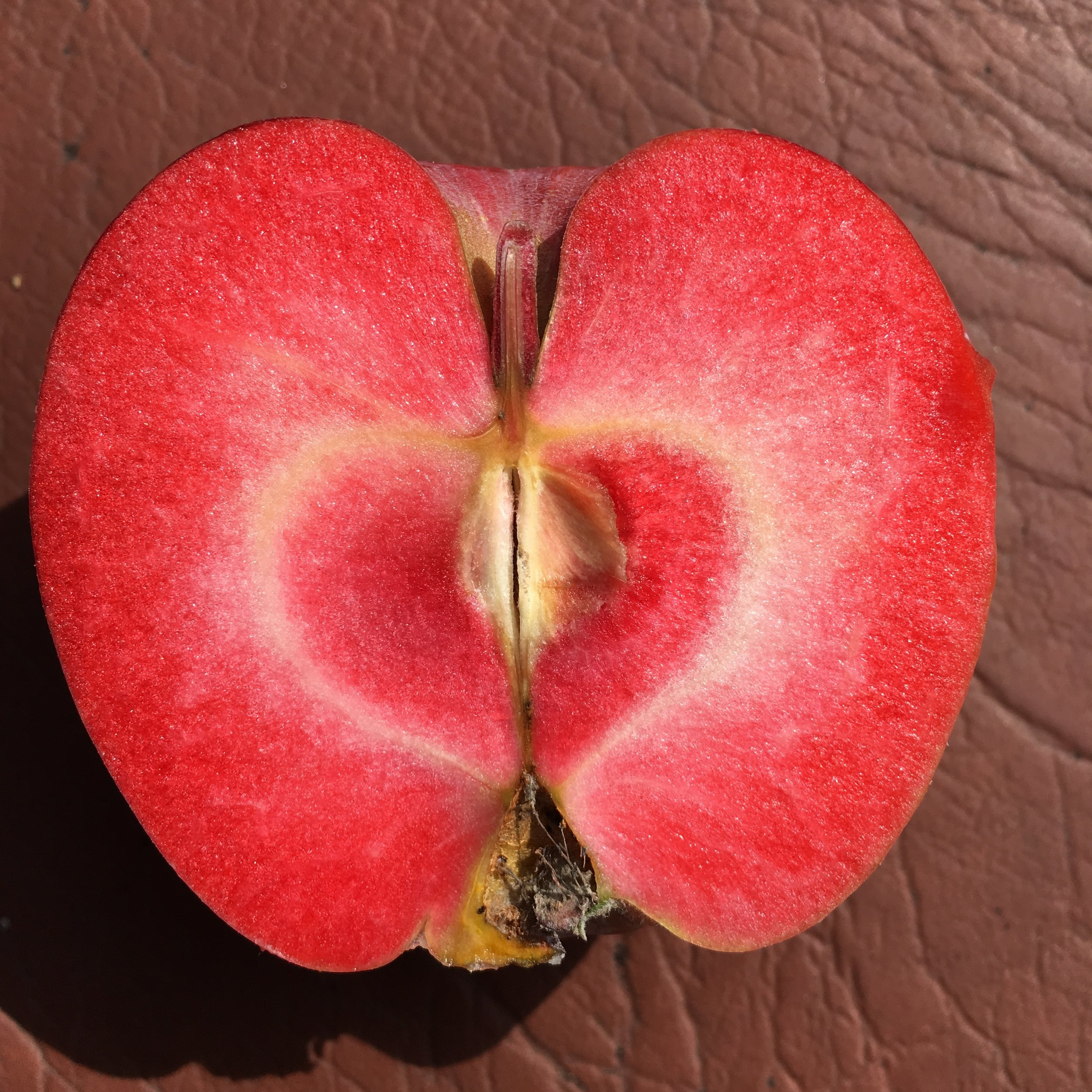 The Almata Apple, just picked!