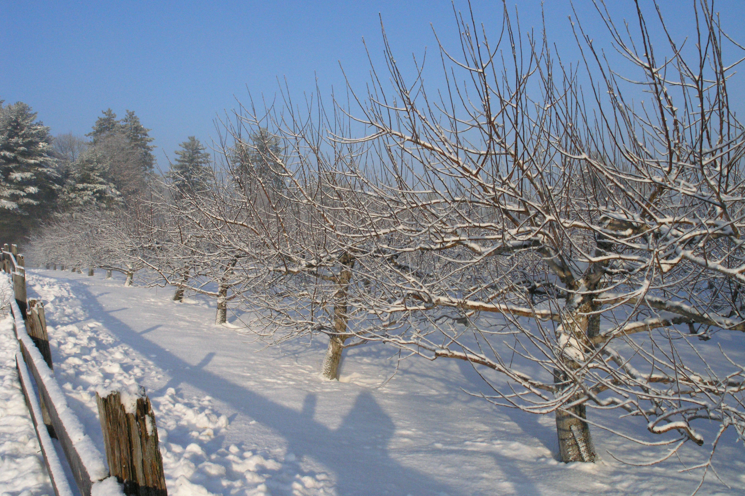 First Row of Macintosh Trees