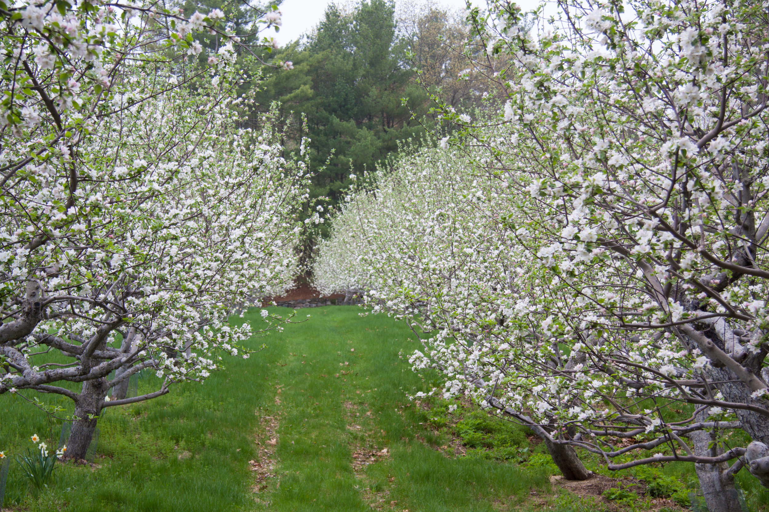 Apple Blossoms Macintosh Apples