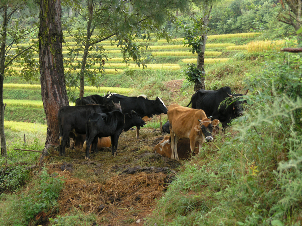 Cows in Bhutan   ( Possibly the world's first organic country within the decade) Photo:LH