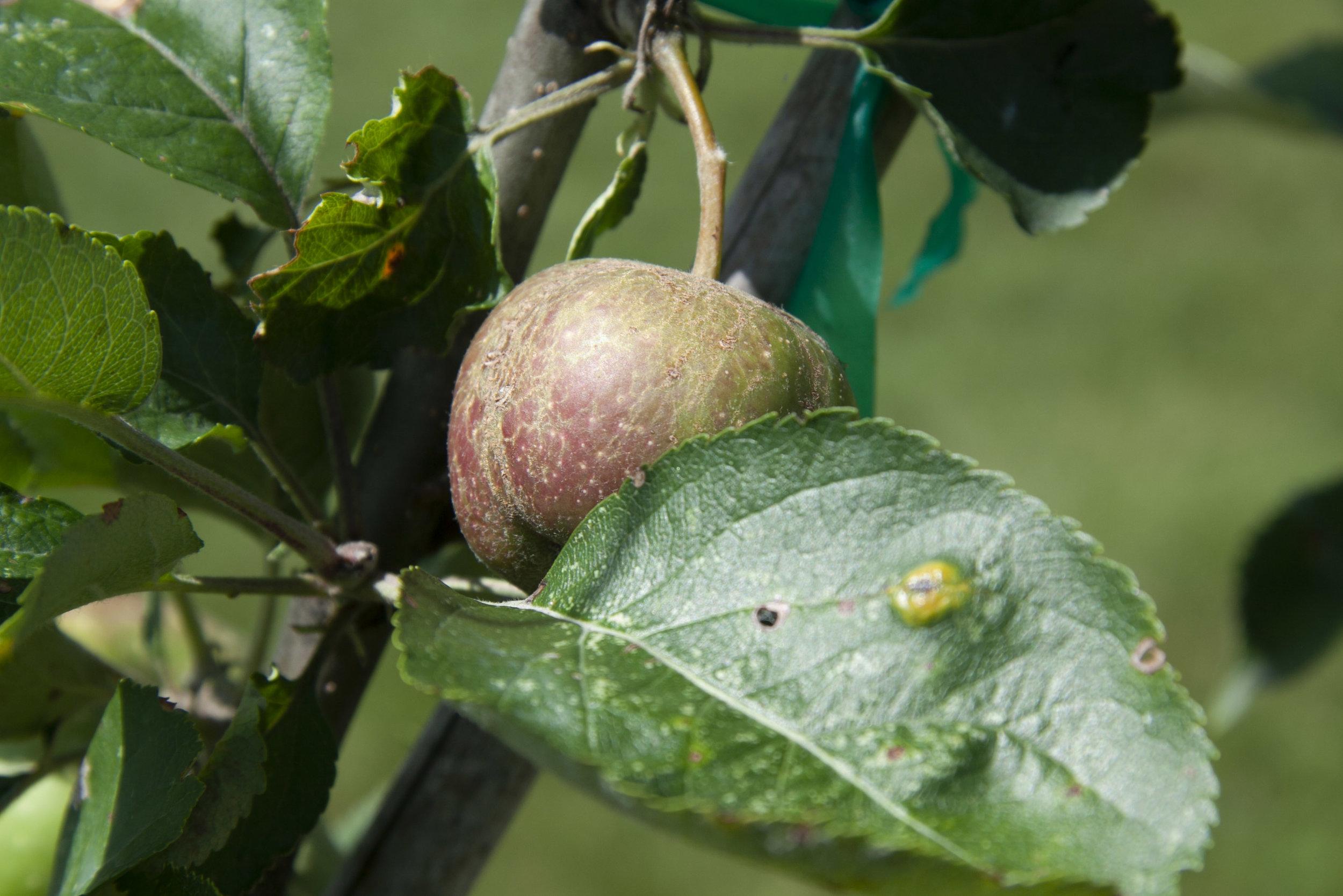 A mid-June apple hidden behind a leaf with spots of cedar apple rust.