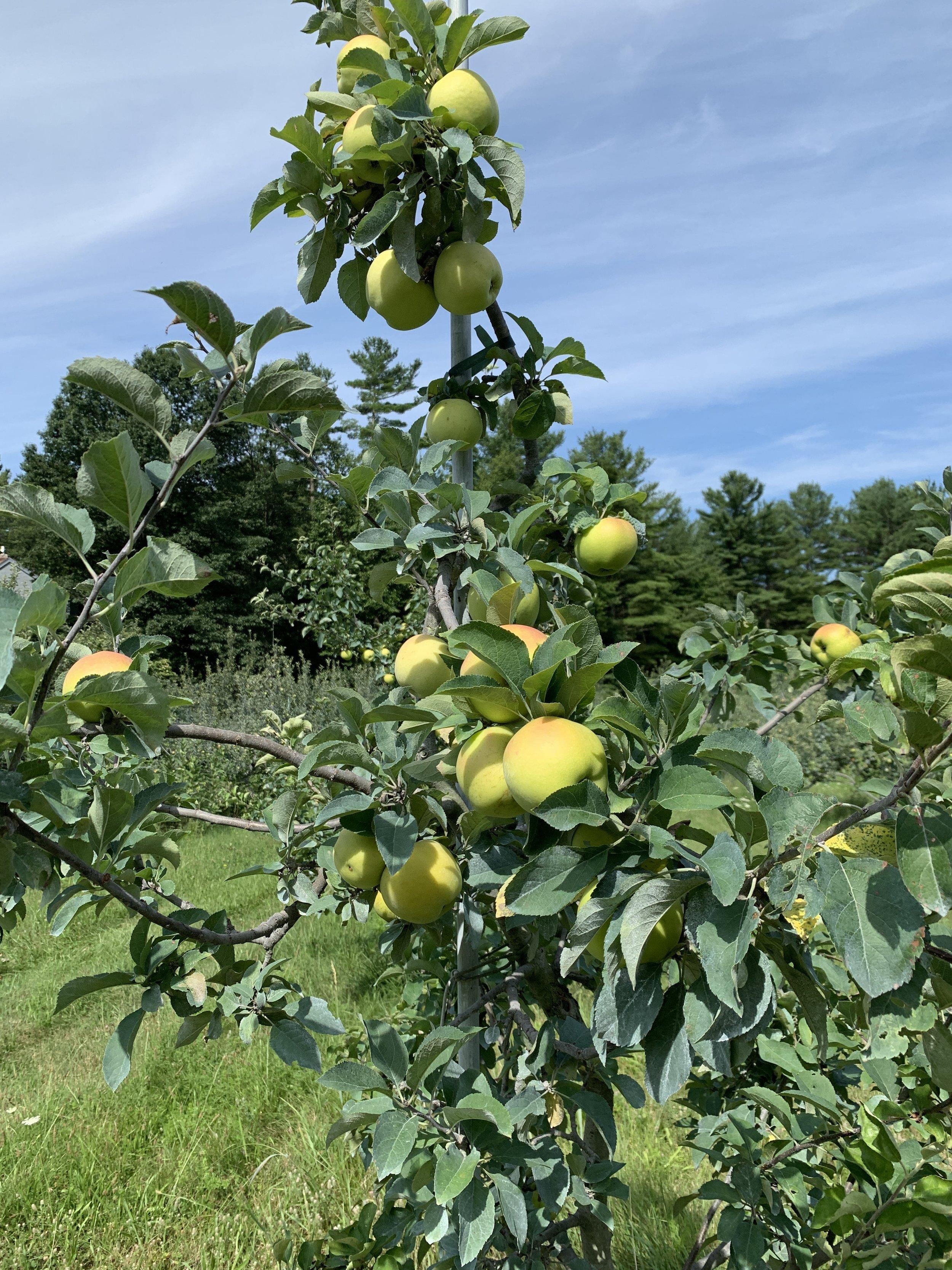 Pristine Apples, August 1, 2019