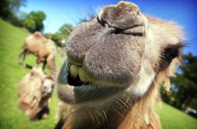 cornish-camels-lizard-cornwall