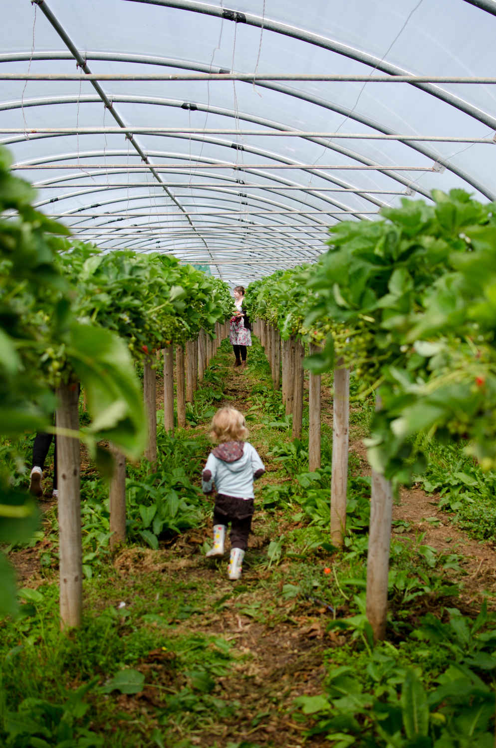 My son running towards my wife in the strawberry polytunnel