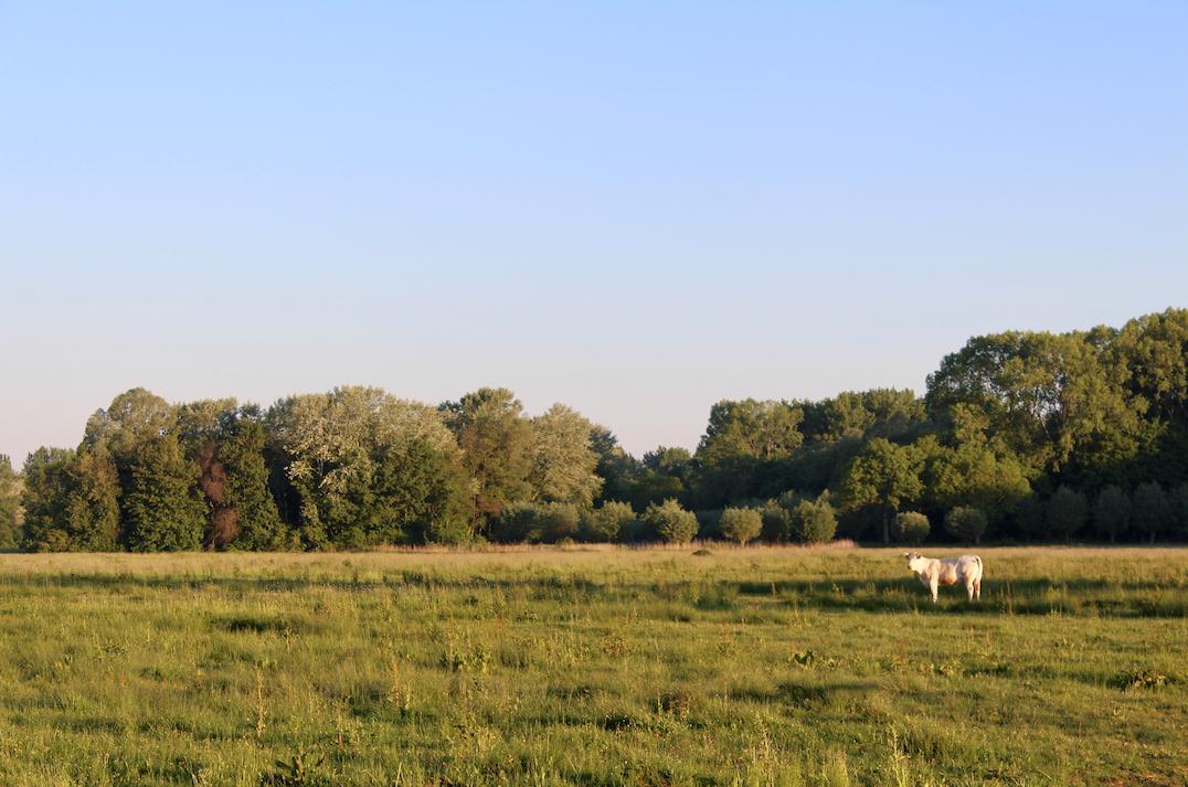 koeien biesbosch.png