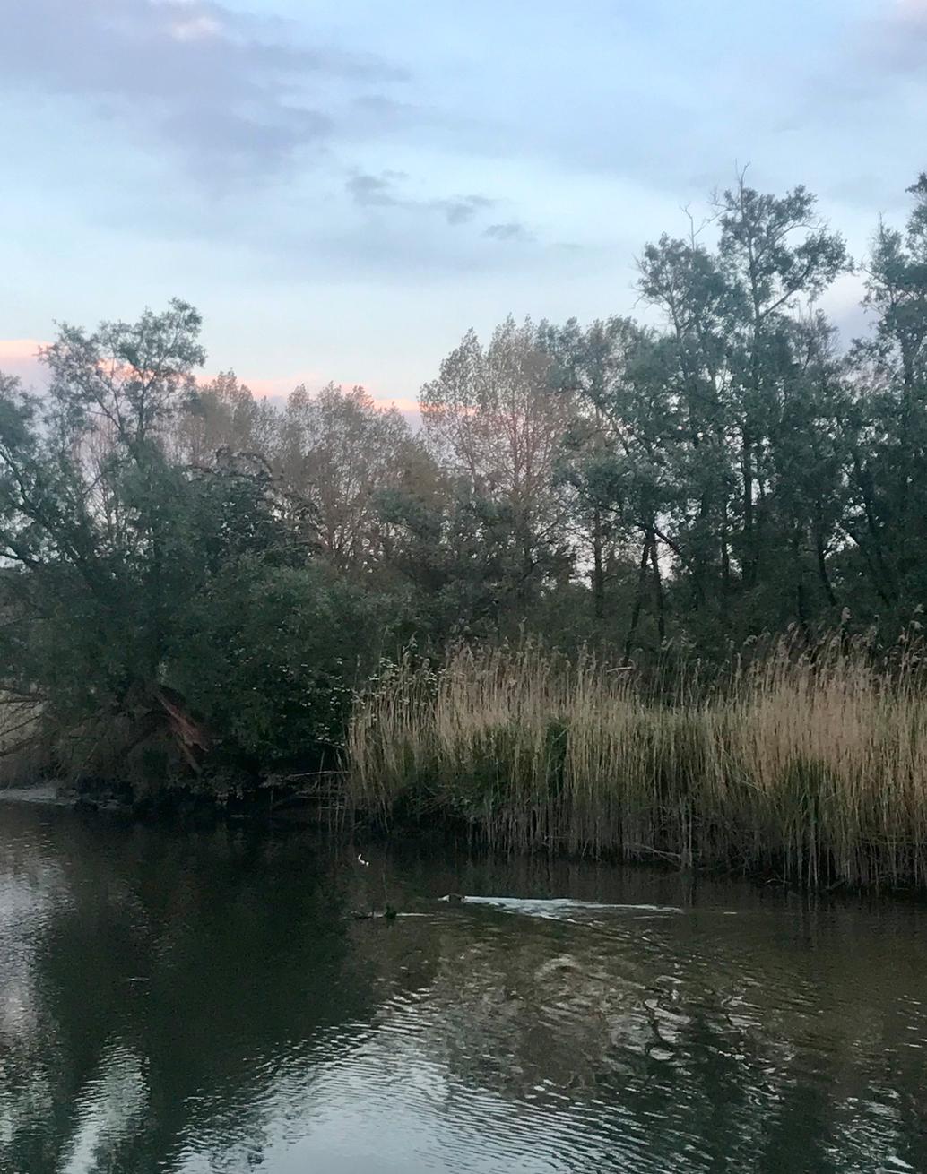 bevers zwemmen biesbosch.png