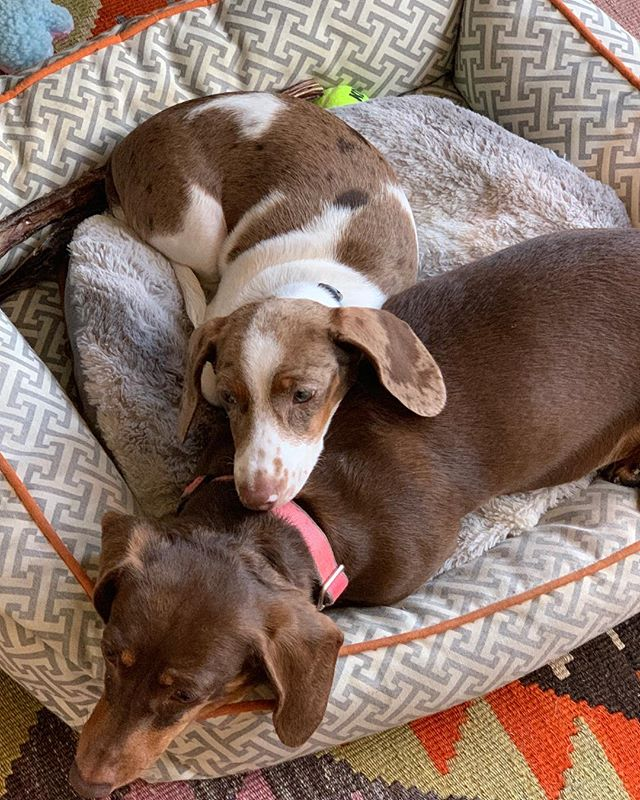 Happy #Nationalpetday. Coco and Gigi best friends missed them this week! #doxiesofinstagram 🐶🐶🐶 we need a Doxie imoji!