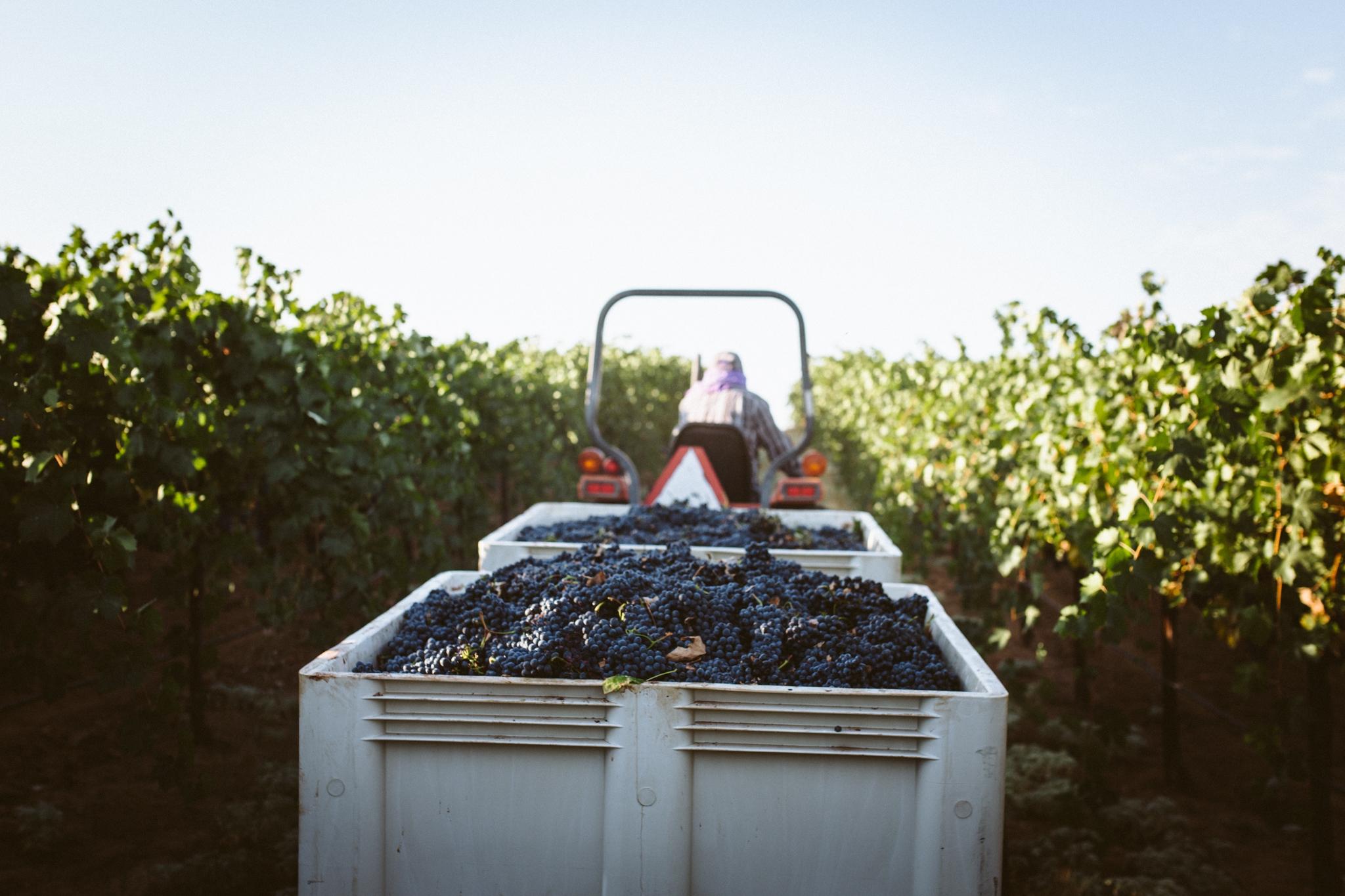 ANDIS WINES - harvest
