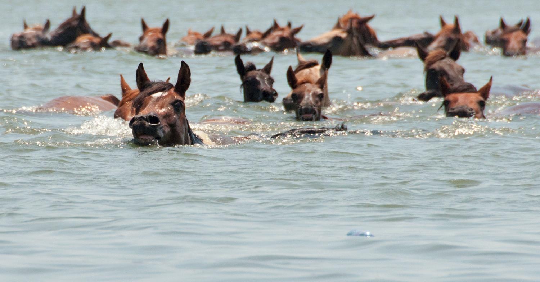 horses go for a swim