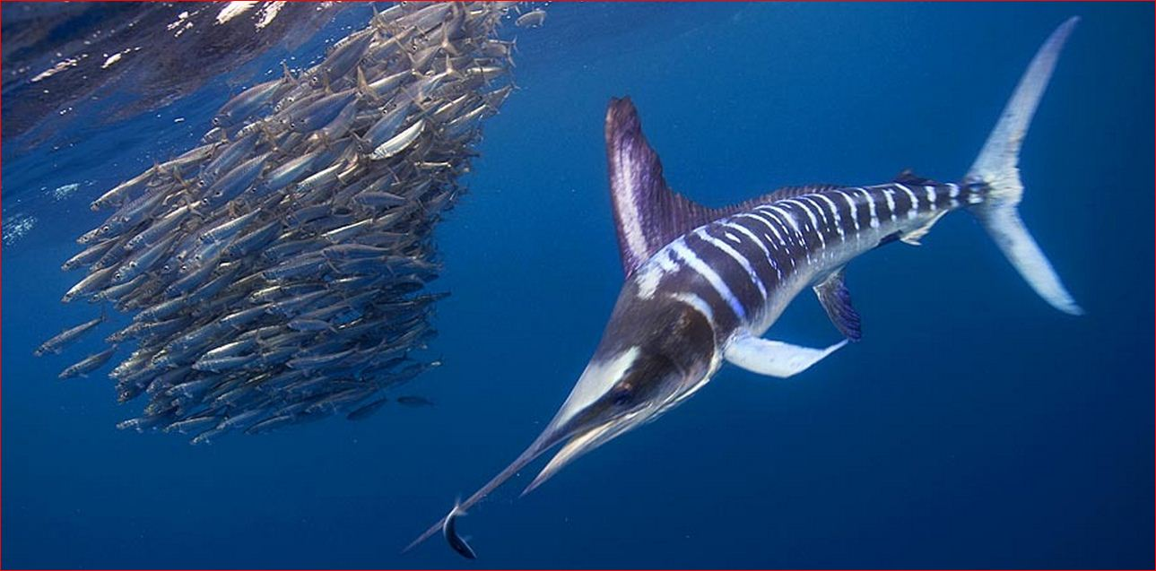 Striped Marlin..JPG