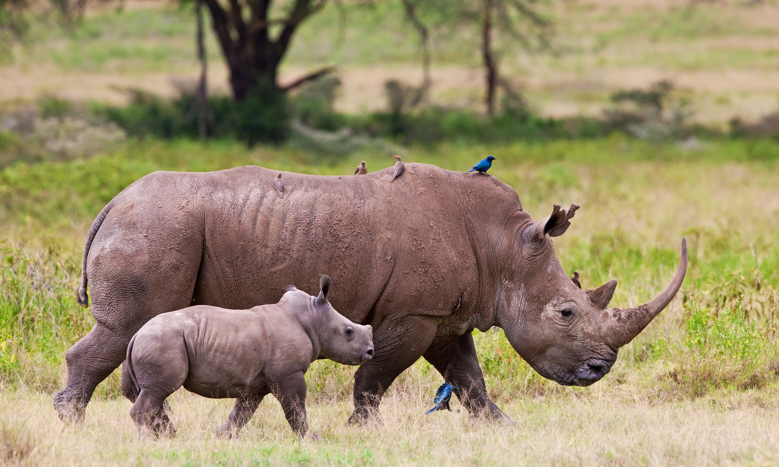 Image of rhino mother and baby walking together.
