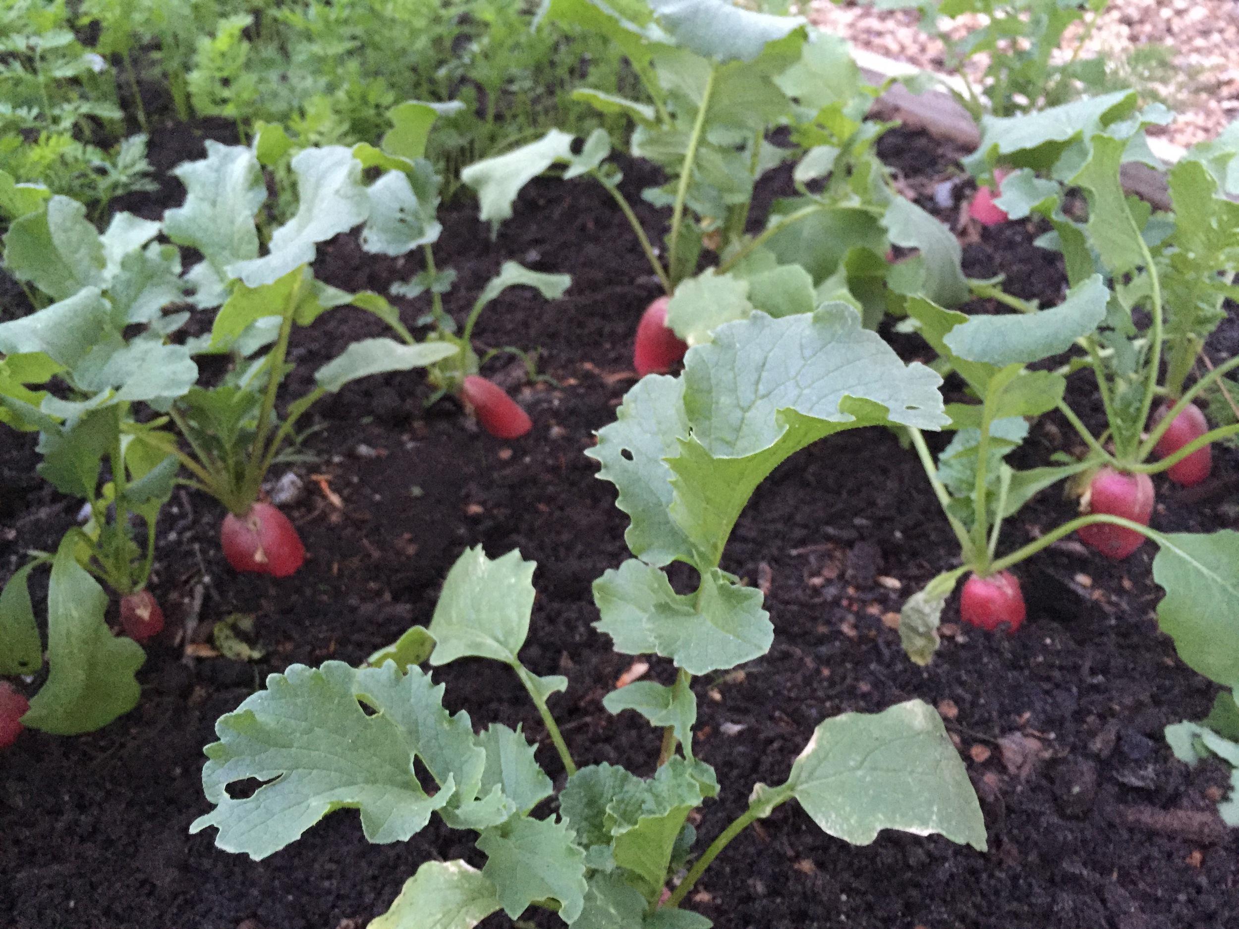 English breakfast radishes ready for harvesting