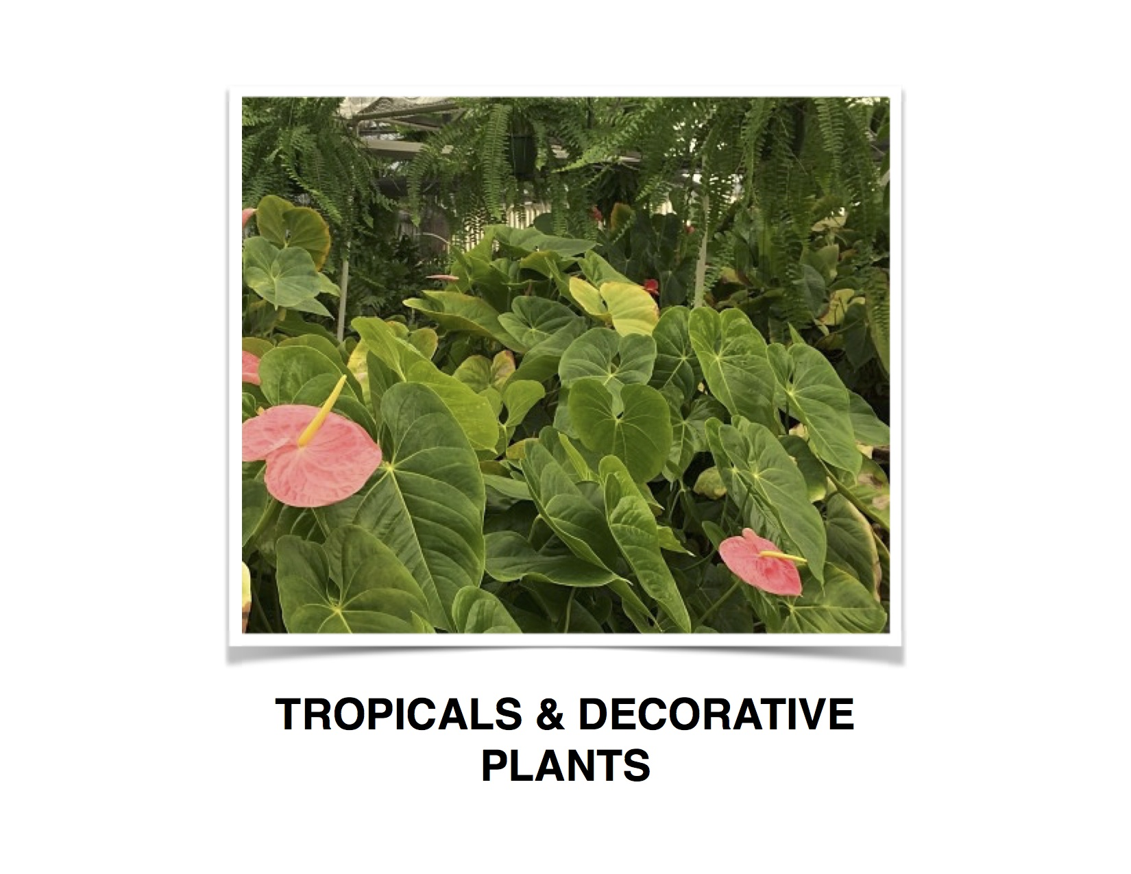 TROPICAL AND DECORATIVE BTN