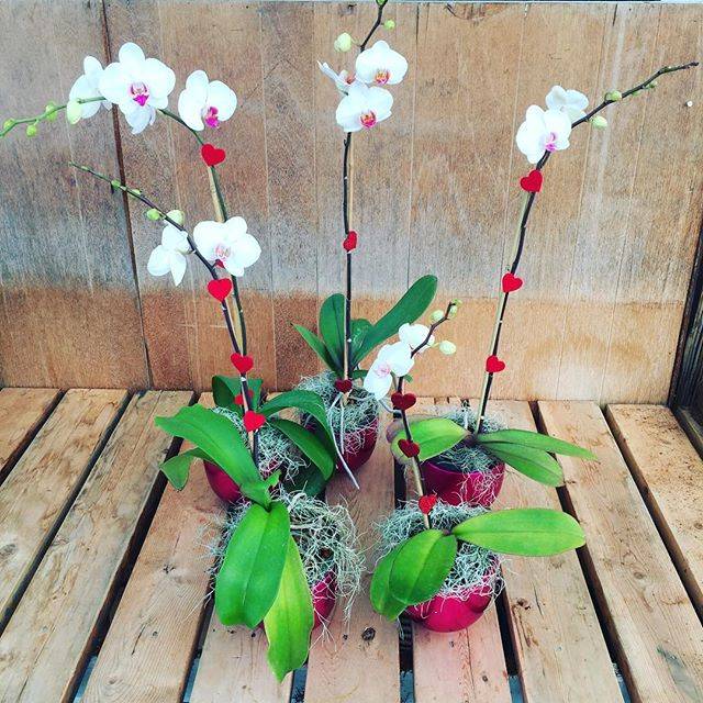 Happy Valentines Day!!!! #sayitwithflower #phalaenopsis #orchids #locallyproduced #Leucadia #valentinesdaygifts