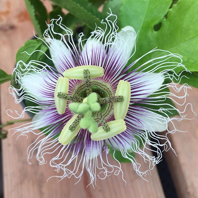 We're growing with a passion.... fruit vine! Check out these exotic flowers of the Passiflora edulis now in bloom at our nursery! . . . . #passionfruitflower #Passifloraedulis #passionfruit #passionfruitvine #growingwithapassion #cosgroveorchids