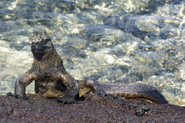 iguana (1 of 1).jpg