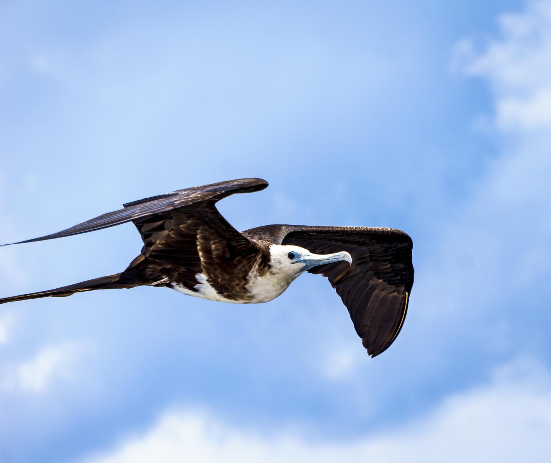 flyingfrigate (1 of 1).jpg