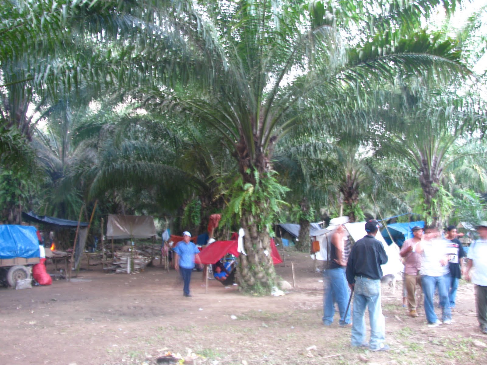 After 13 days and getting ready for more, they have built shelters and set up cooking pits under the palm tress on the plantation