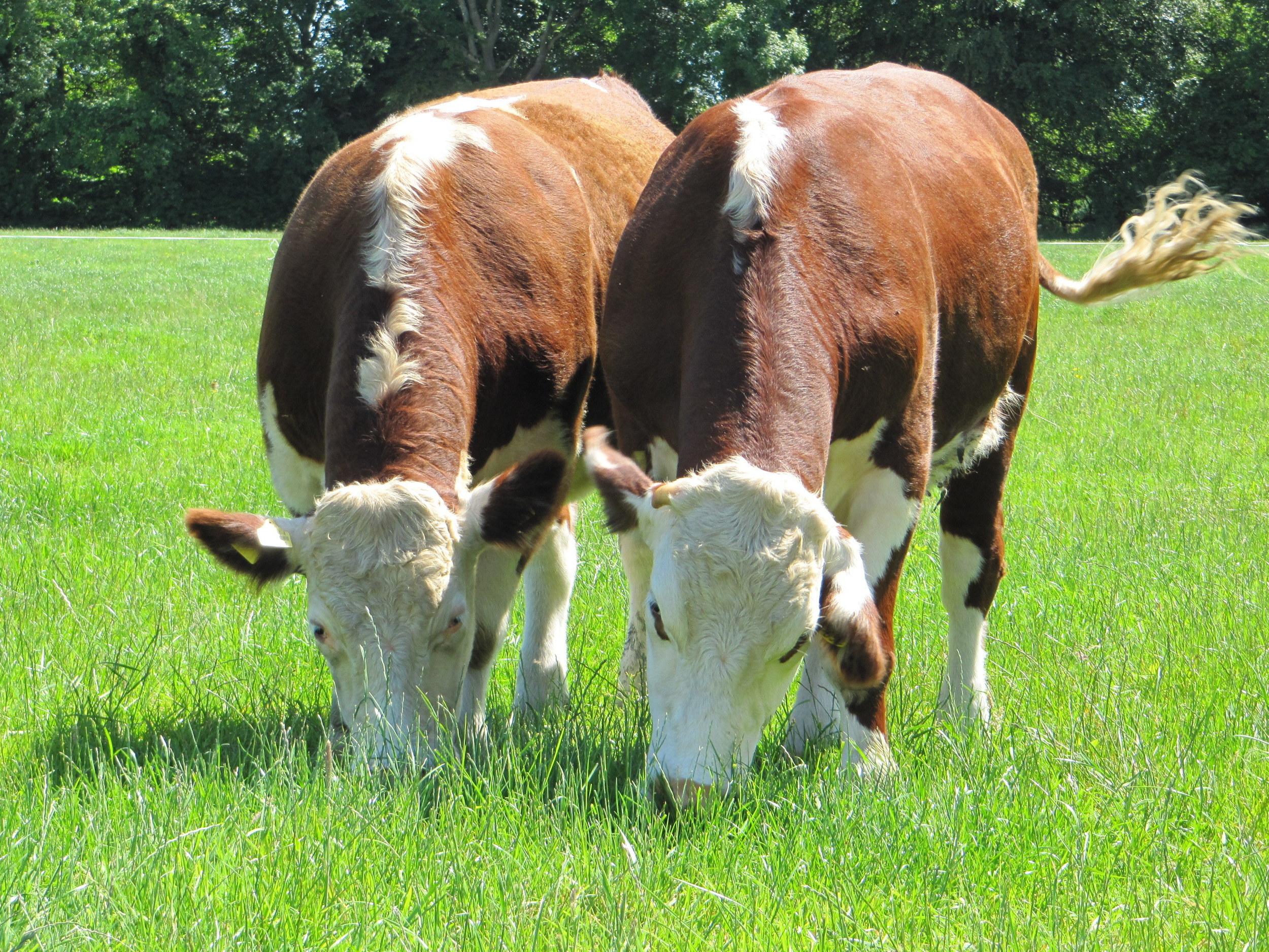Hereford runderras