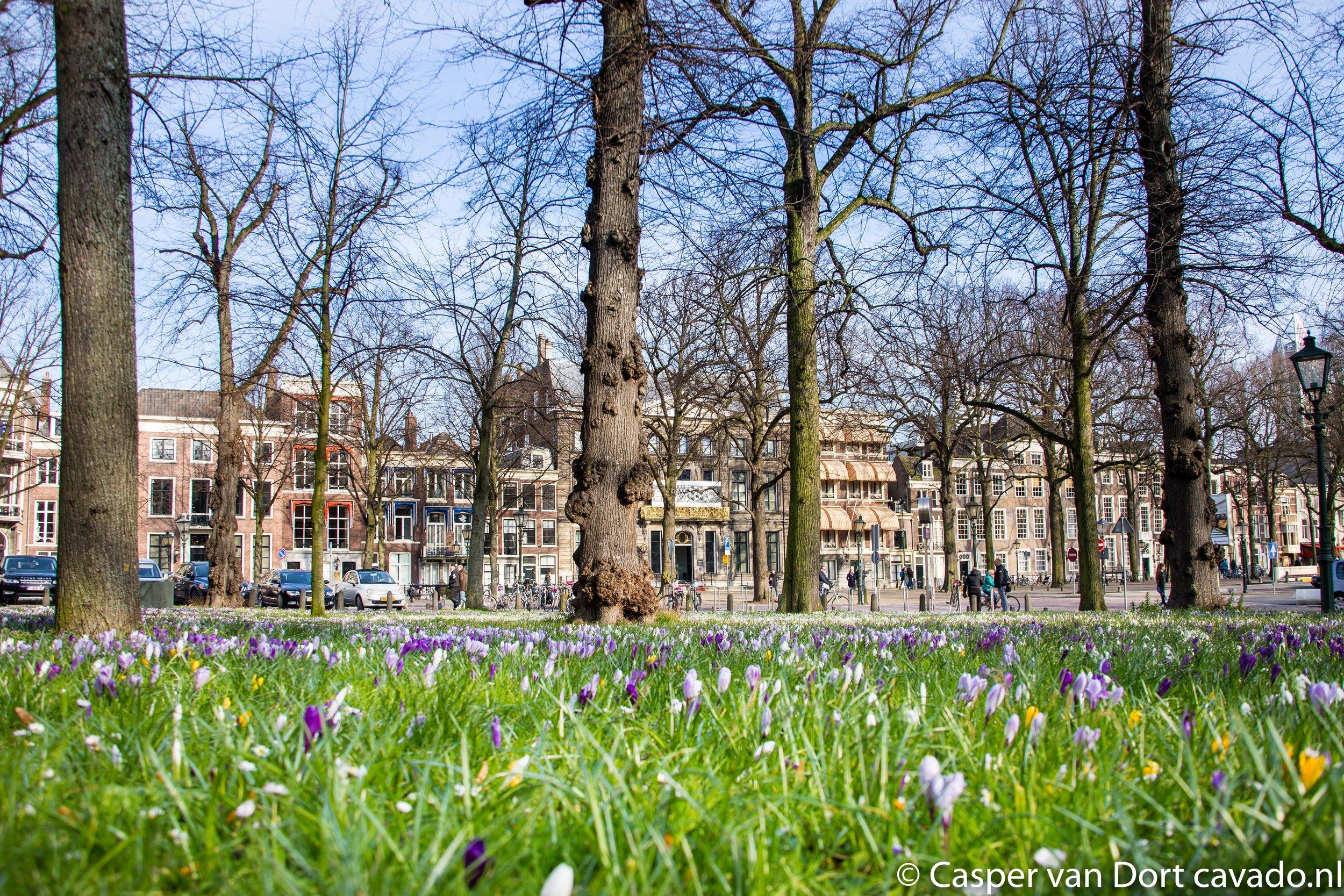 Krokussen Lange Voorhout Den Haag