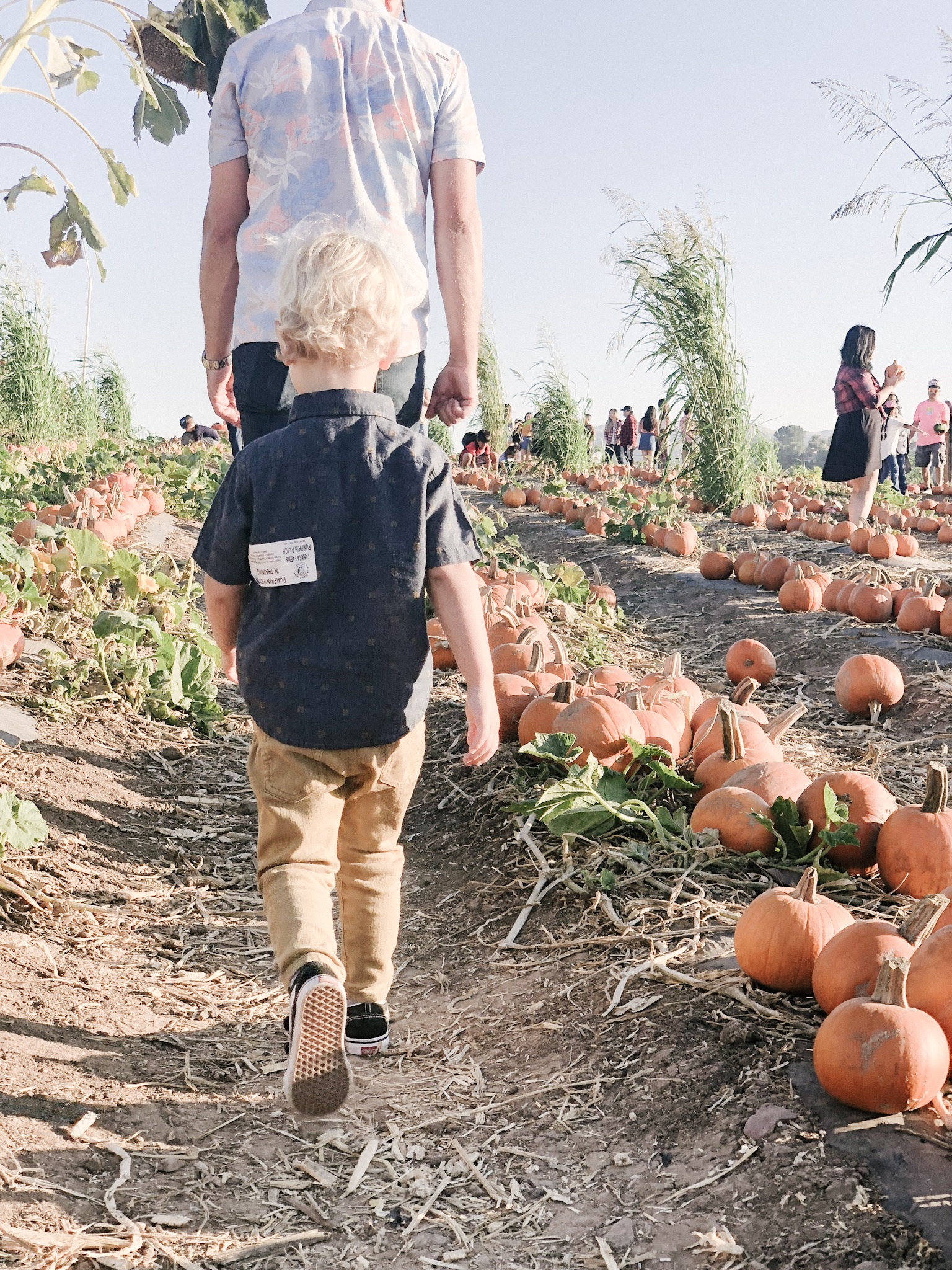 tanaka farms pumpkin patch dad mini meJPG