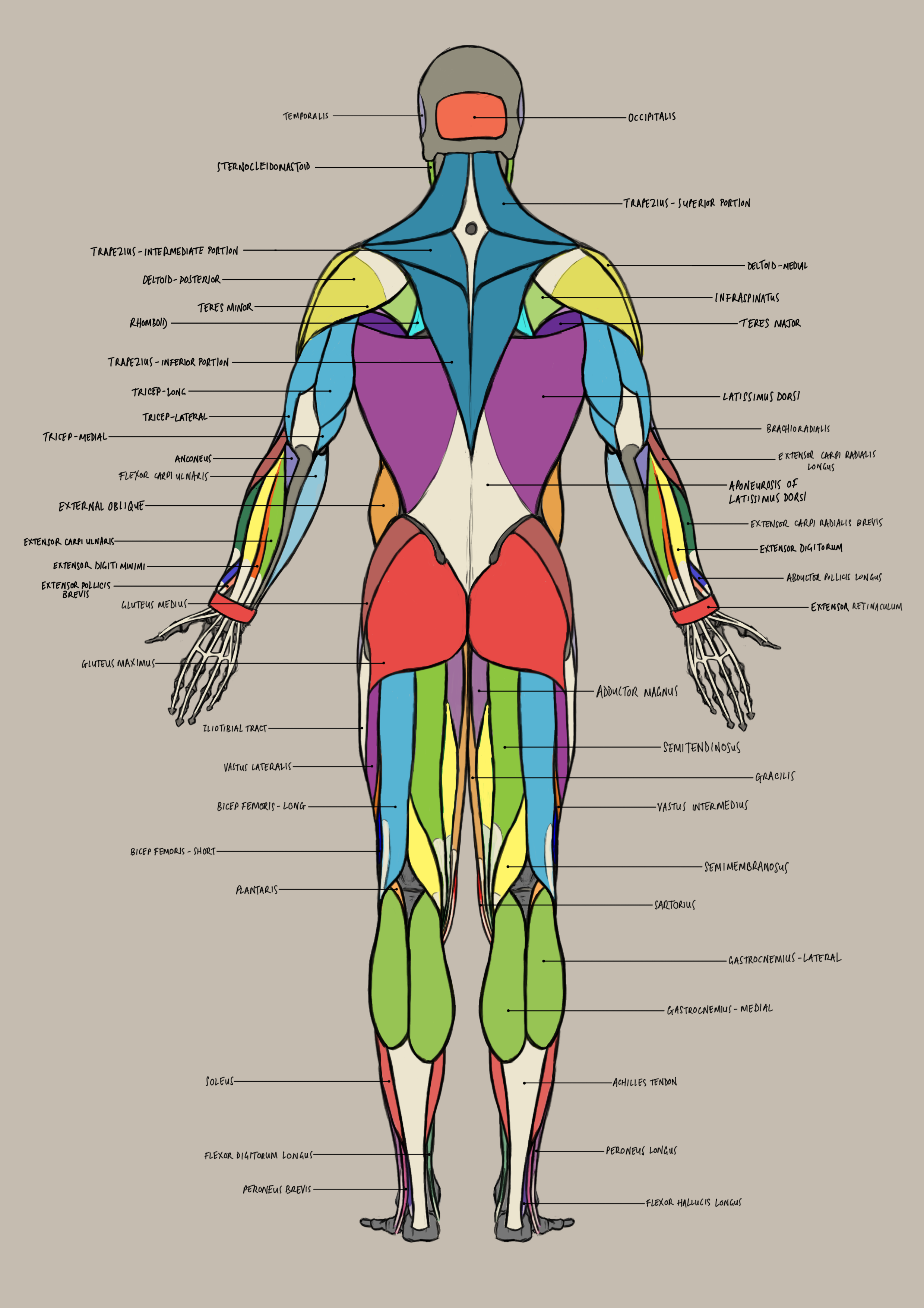 male_anatomy_posterior.png