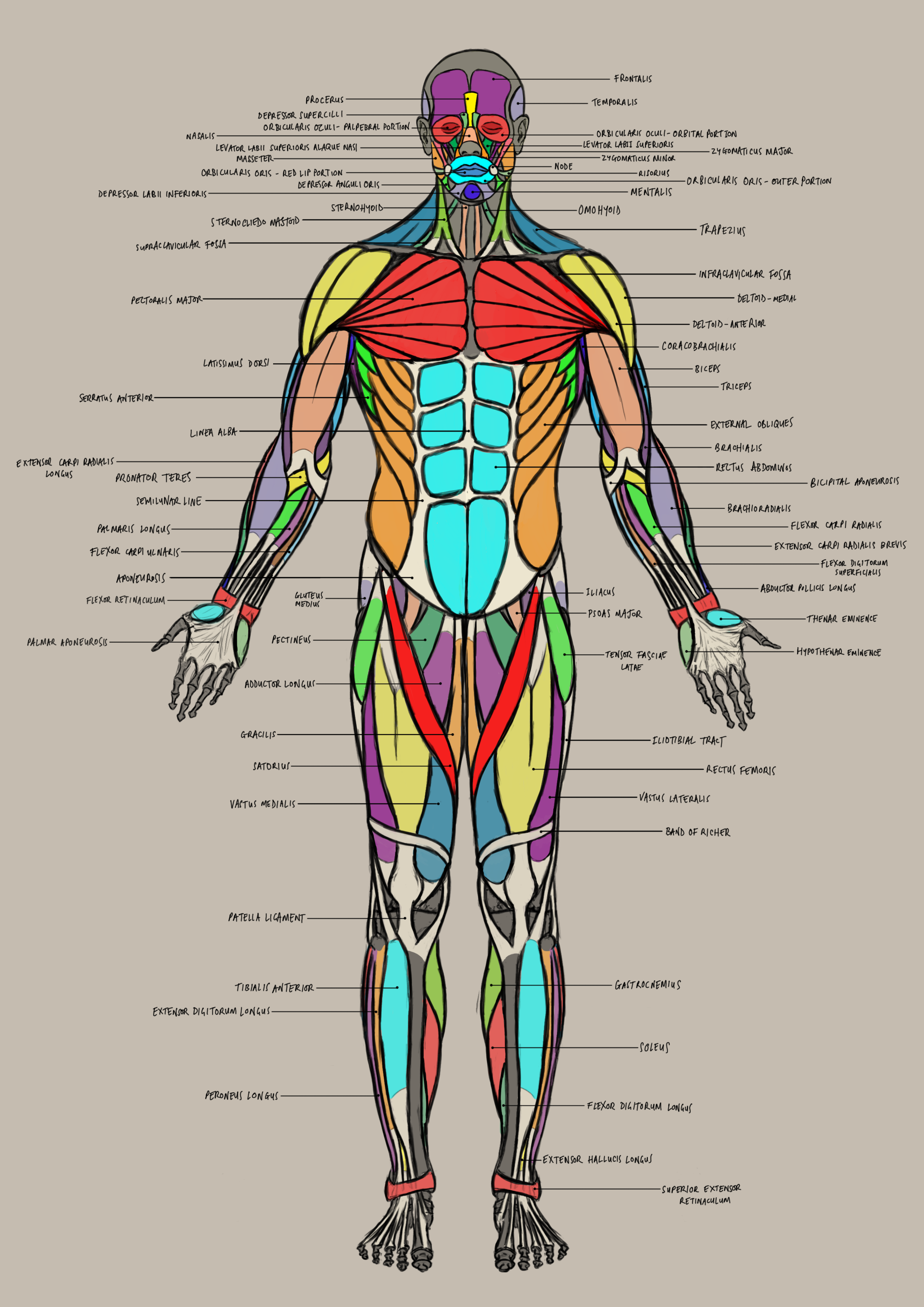male_anatomy_anterior.png