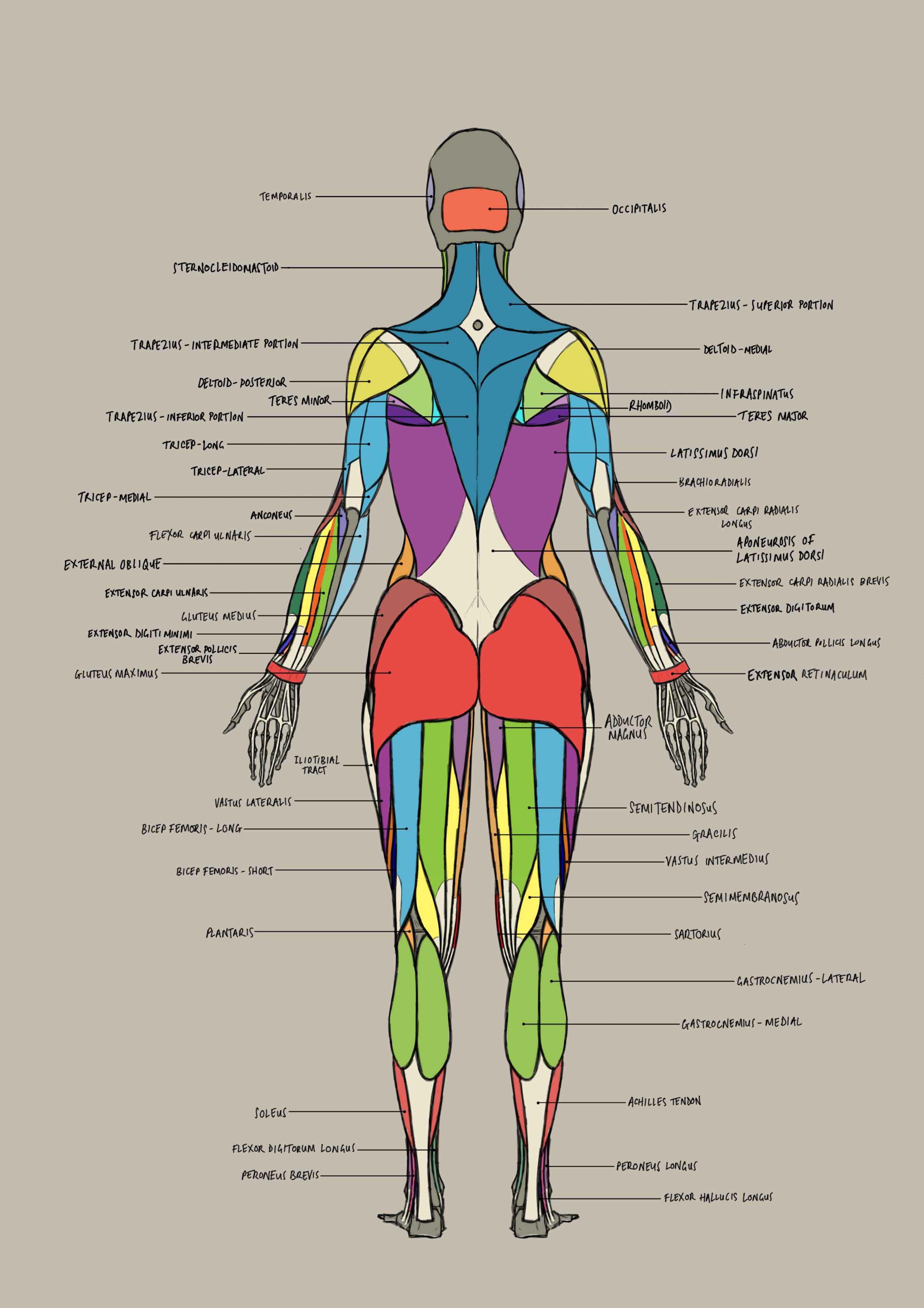 female_anatomy_posterior.png