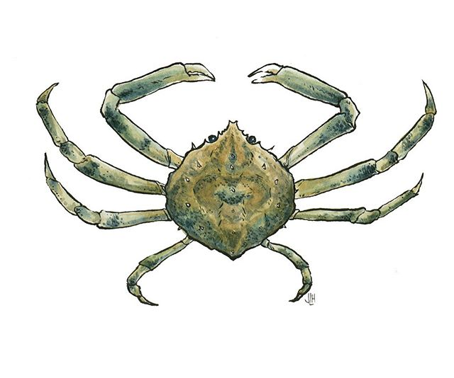 Been very #nostalgic lately and This #spidercrab request goes out to the giggliest campers that ever graced #capecod's FAMED Cataumet Camp, @kinleydarling and @lizragone. I believe you all went wild over #fiddlercrabs too is that right? Along with @kat_ragone?
