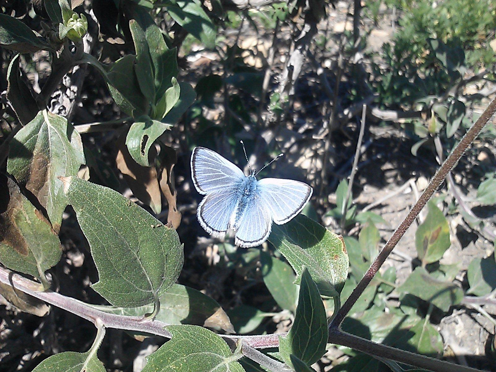 palosverdesbluebutterfly.jpg