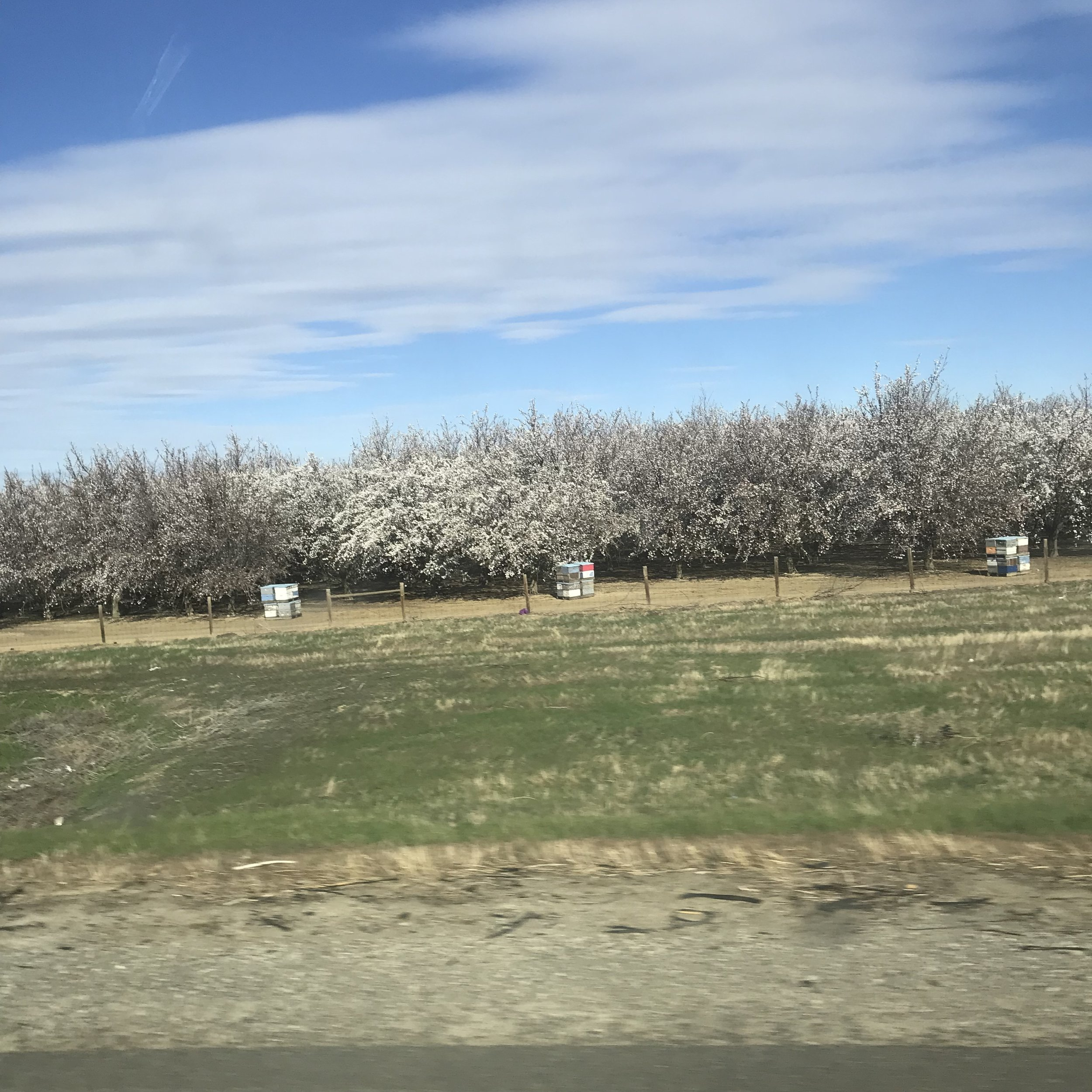 Beehives pollinating all the almond blossoms in California