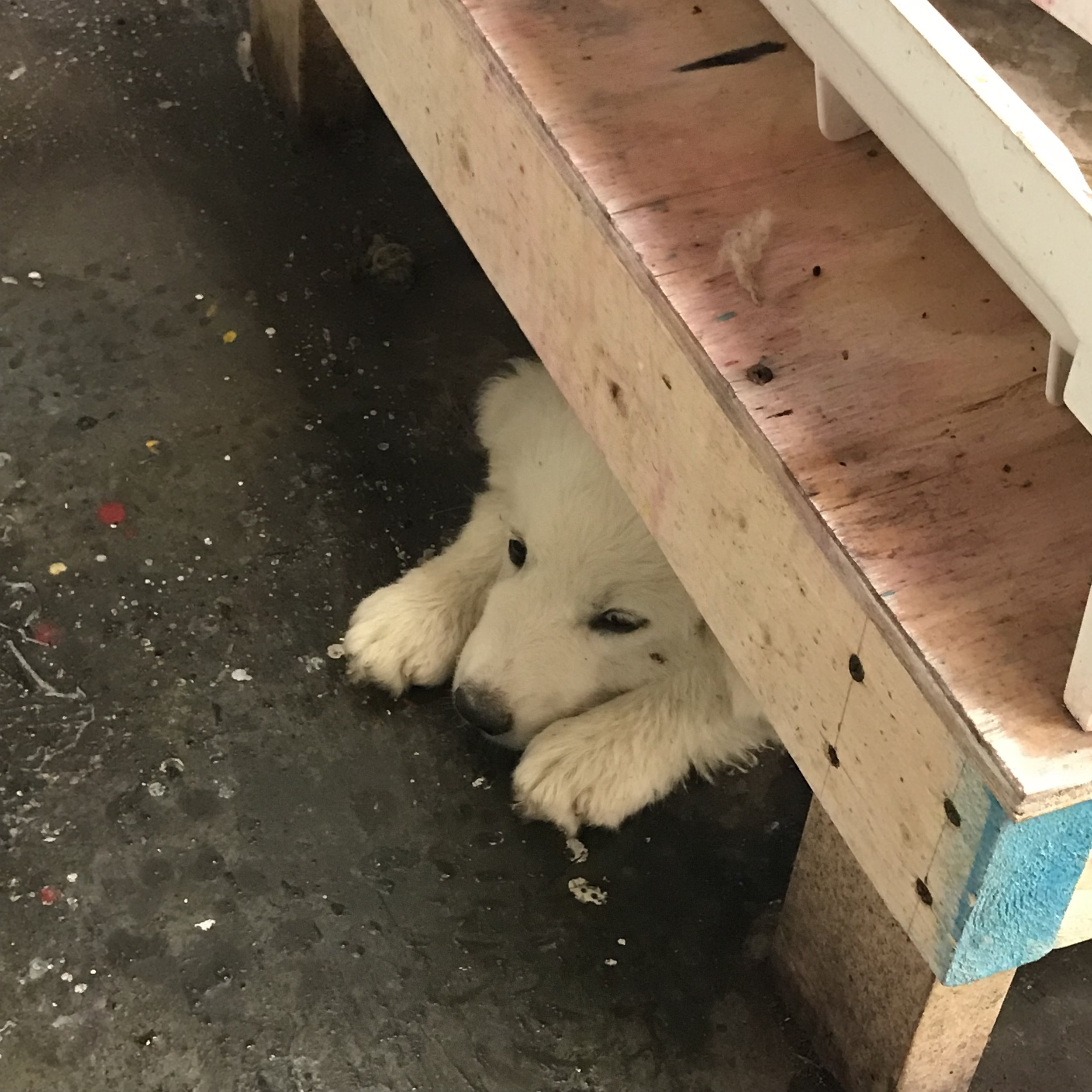 Puppies in the dye shop