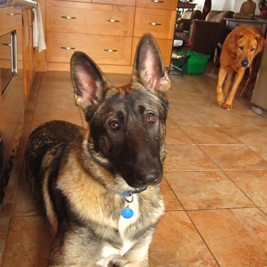 Kagan, our brilliant and obsessive German Shepherd,and Khai, the sweet, couch potato Ridgeback.