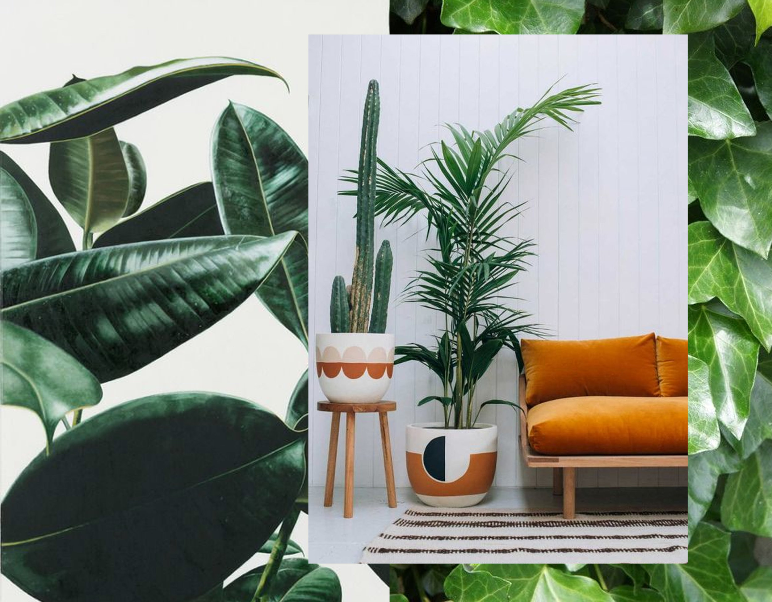 Rubber plant - cactus - Areca Palm - English Ivy