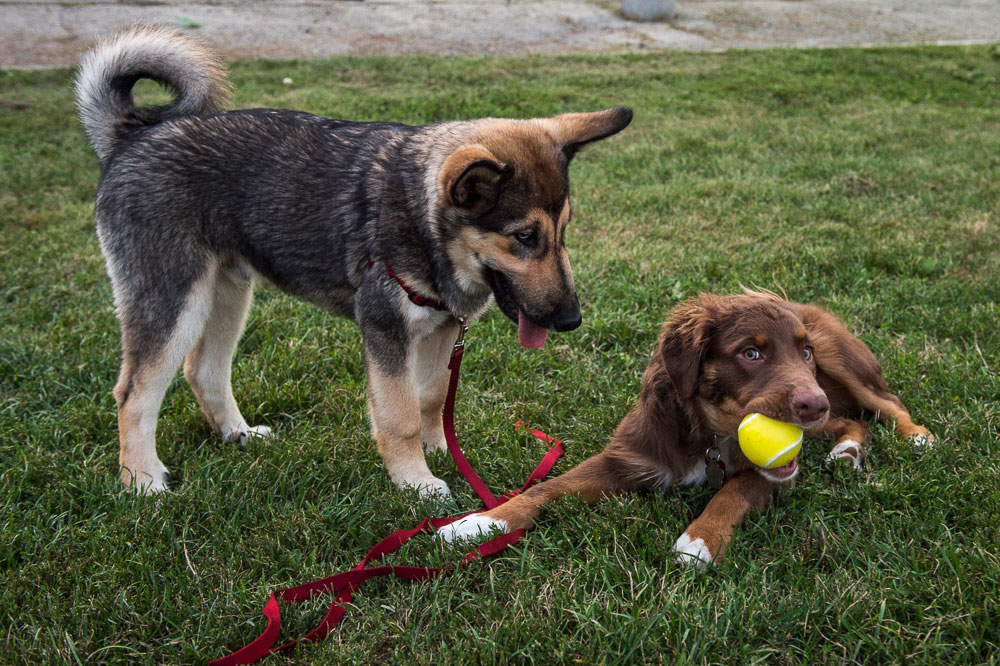 Bowie, left, and Hershey playing at Withrow Park.  Photo:   Matt Forsythe