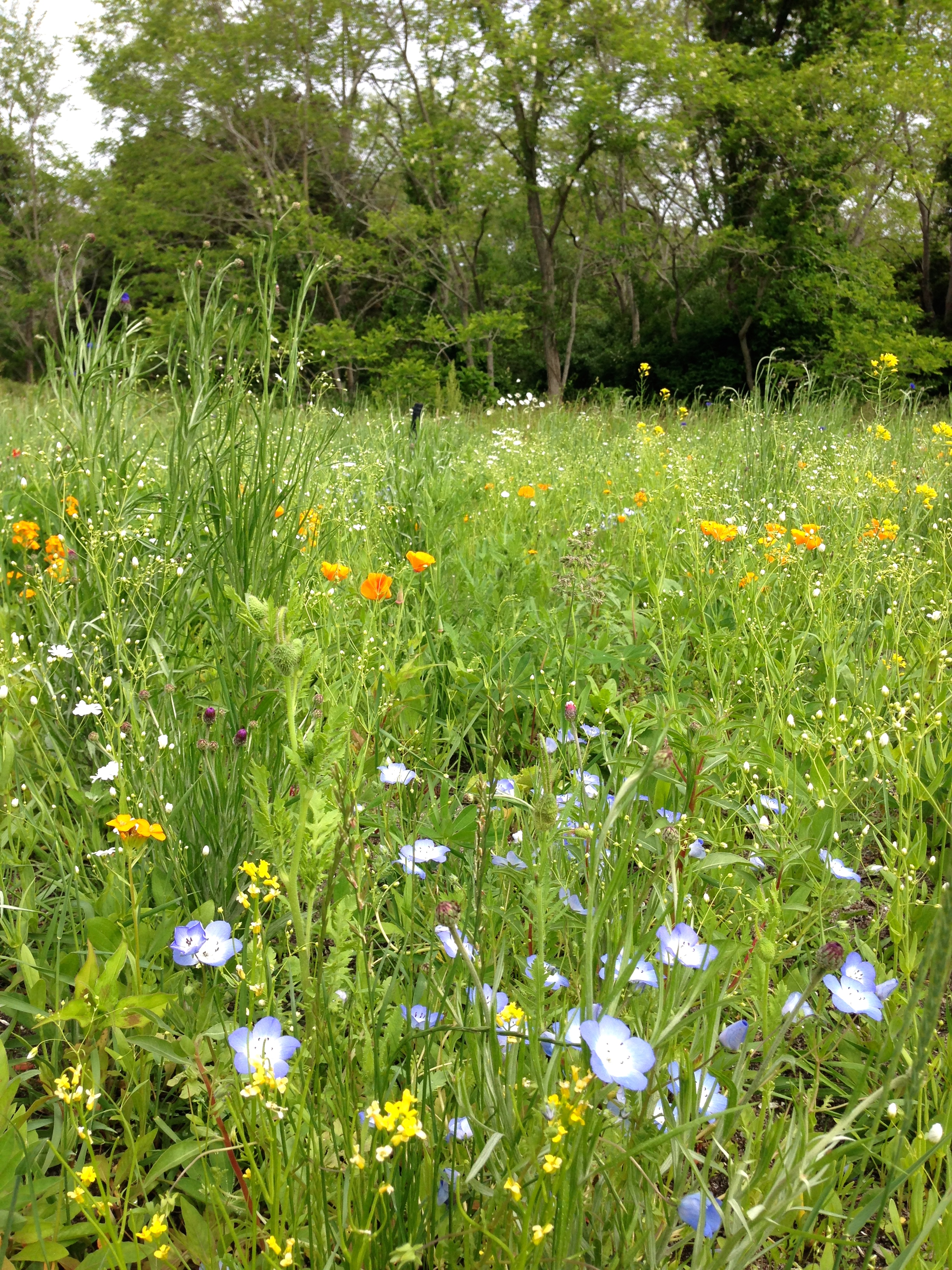 Eastham WILDFLOWERmeadow, slice-seeded and maintained by Bayberry Landscaping.