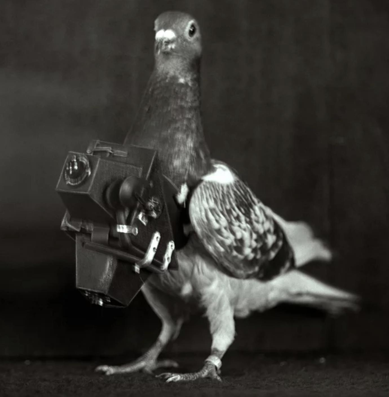 A dapper pigeon wearing a small camera