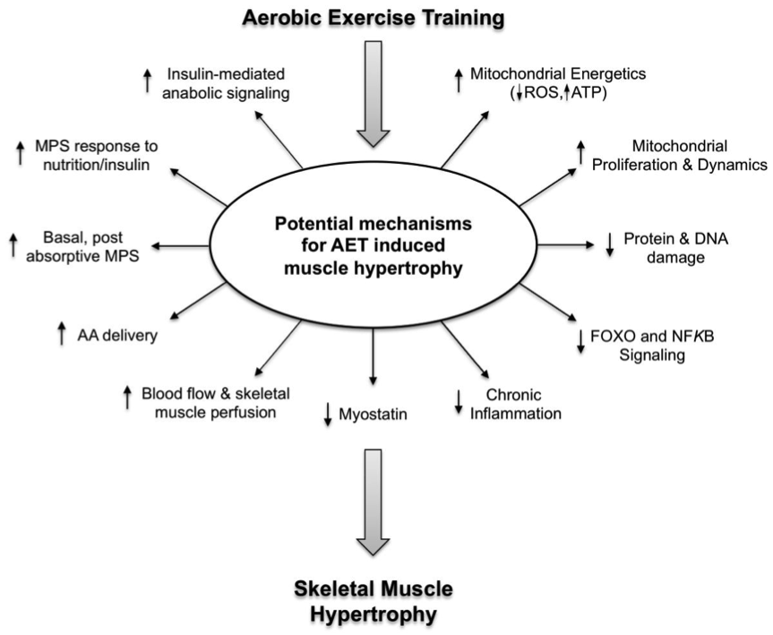 Aerobic exercise training (AET) has an effect on many mechanisms that may collectively promote skeletal muscle hypertrophy.