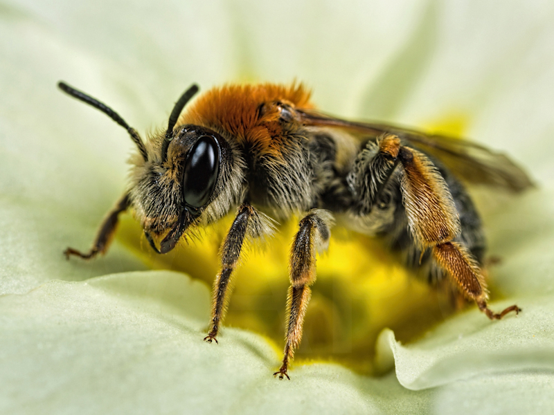 """""""Mining Bee on Primula Flower"""" by Ed Phillips - C"""