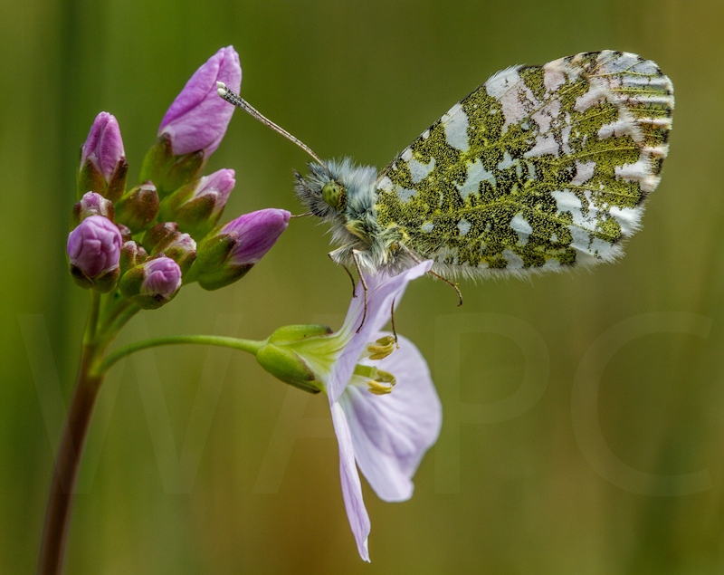 Male Orange Tip by Norman O'Neill - 2nd