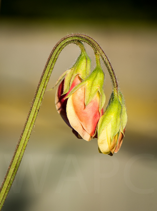 Sweet Pea by John Sweetland - C