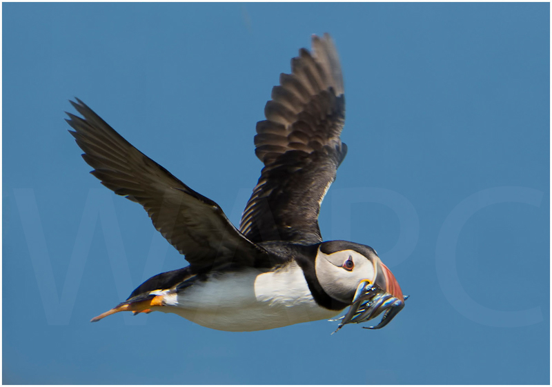 Puffin returning with sand eels